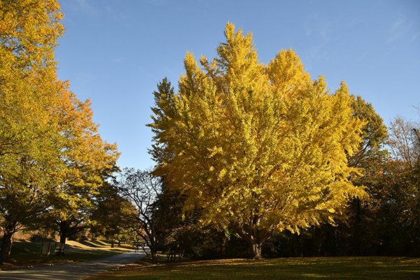 Yellow Ginko Tree at Dix park