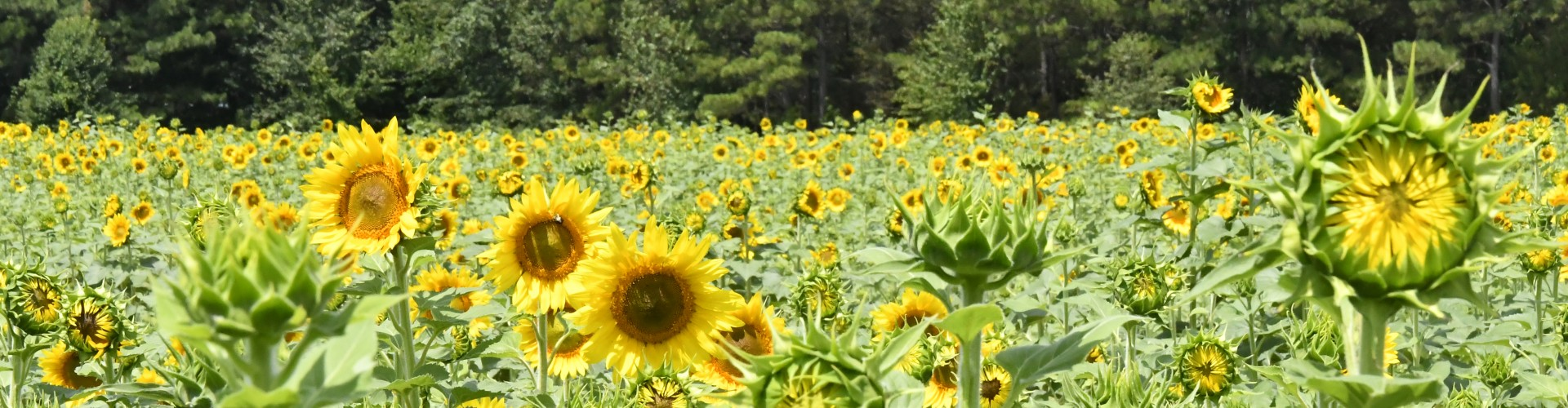 Field of sunflowers at Dix Park